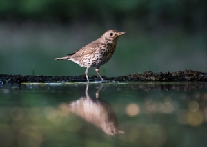 Small speckled brown bird standing on the edge of a pond